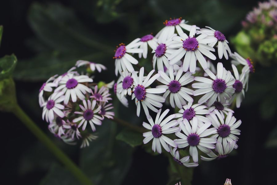 Daisy Dark Beauty In Nature Blooming Canon Canon1100d Canonphotography Close-up Day Flower Flower Head Focus On Foreground Fragility Freshness Growth Nature No People Outdoors Petal Photography Plant Purple Purple Flower White