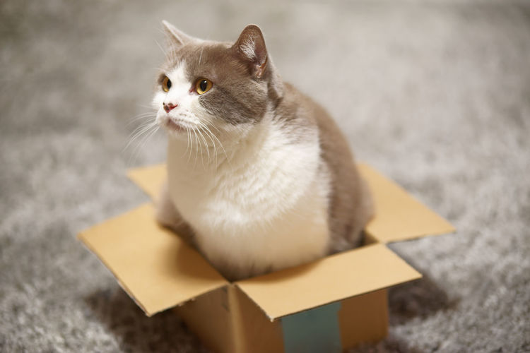 Cat sitting in too small cardboard box Pets Domestic Mammal Cat Domestic Animals Feline One Animal Domestic Cat Vertebrate Whisker No People Looking Sitting Looking Away High Angle View Relaxation Indoors  Side View Cardboard Box Cardboard Package Parcel Looking Away British Shorthair