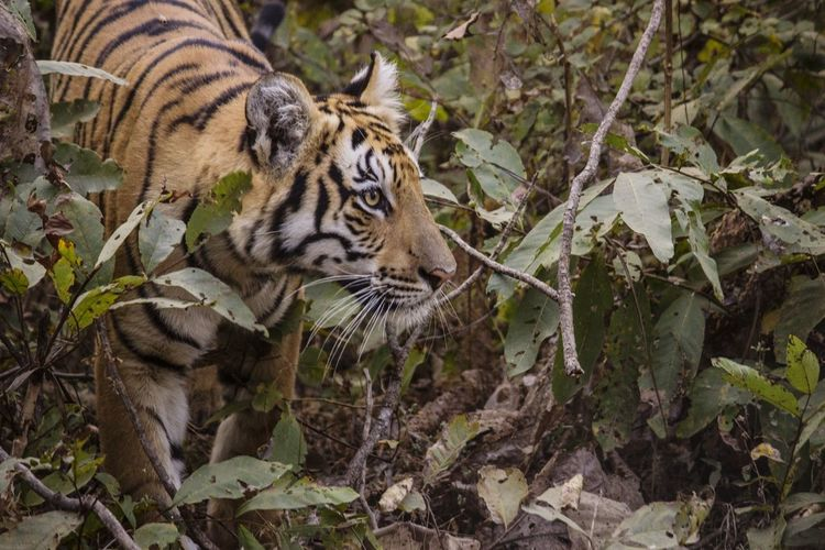 Close-up of tiger looking away by plants in forest