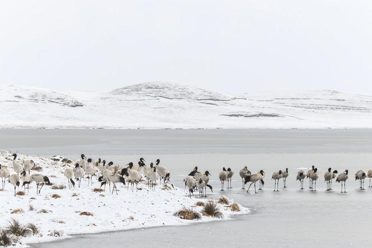 Black-necked cranes on frozen lakeshore