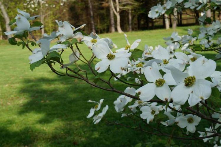 Dogwood Dogwood Blossom Nature_collection Nature Photography