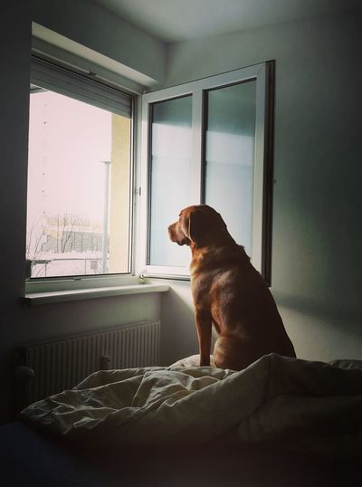 Dog Sitting On Bed Looking Through Window