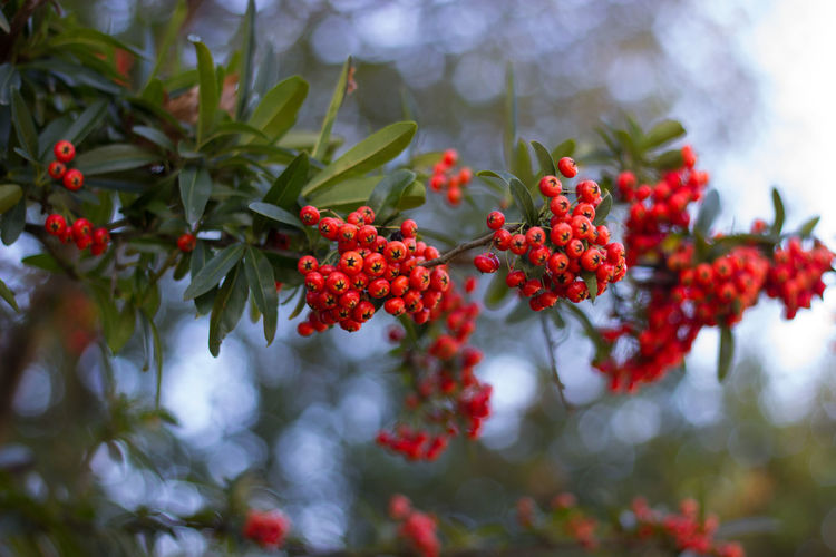 Red Wild Berries Growth Branch Autumn Colors Beauty In Nature Outdoors Plant Close-up The Week On EyeEm Botany EyeEm Selects Bokeh Firethorn Pyracantha Coccinea
