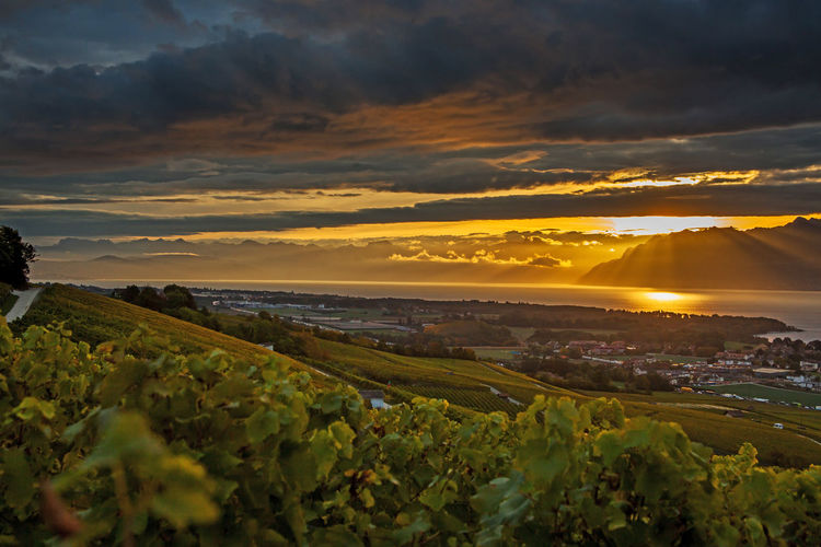 Agriculture Close-up Field Hill Landscape Leman Lake Switzerland Nature Sky Sunlight Travel Vineyard Wine Fields