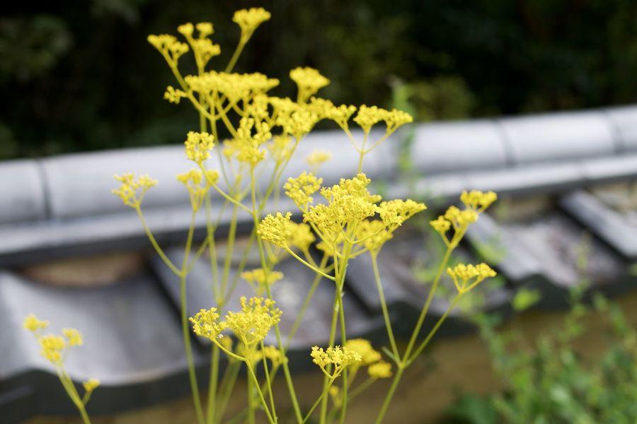 Close-up Flower Outdoors Patrinia Scabiosifolia Plant Yellow オミナエシ 女郎花
