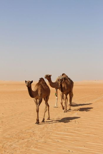 Camels Walking On Desert Against Clear Sky