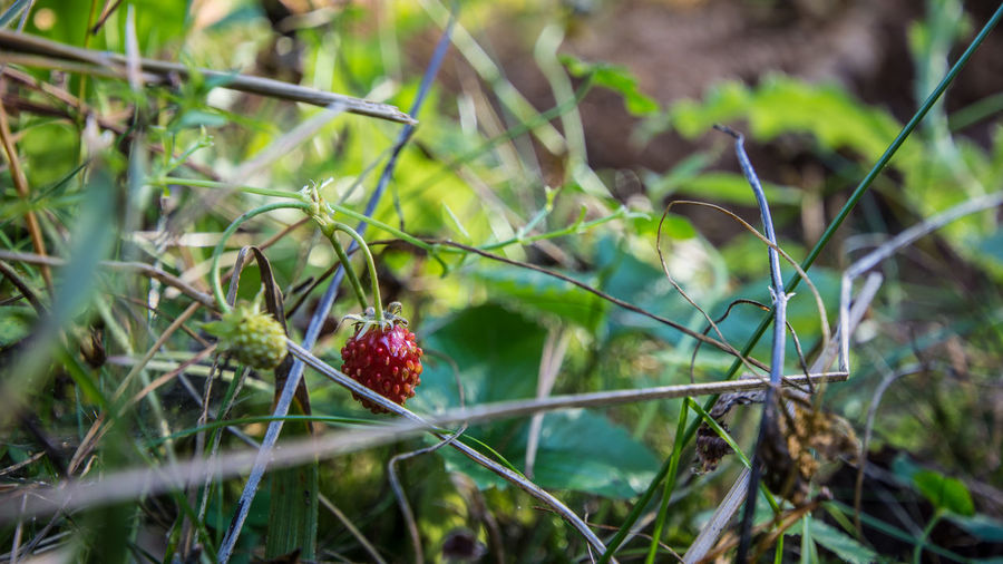 Fruit Healthy Eating Berry Fruit Food And Drink Food Plant Growth Red Freshness Strawberry Wellbeing Day Nature Close-up Land Selective Focus Green Color Focus On Foreground No People Field Outdoors Ripe