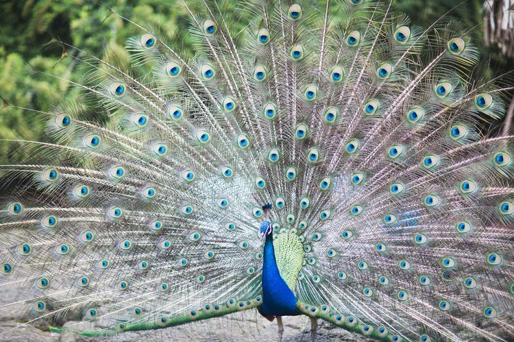 Peacock with fanned out on field