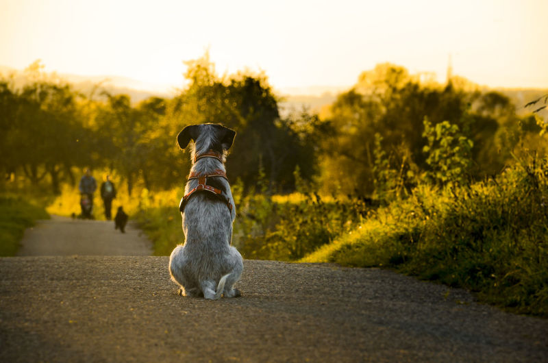 Rear view of dog on road against trees during sunset