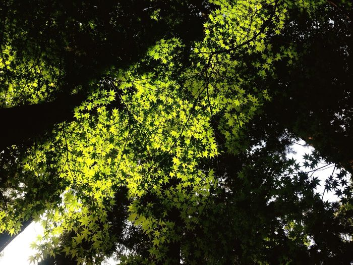 Nature Green Maple
