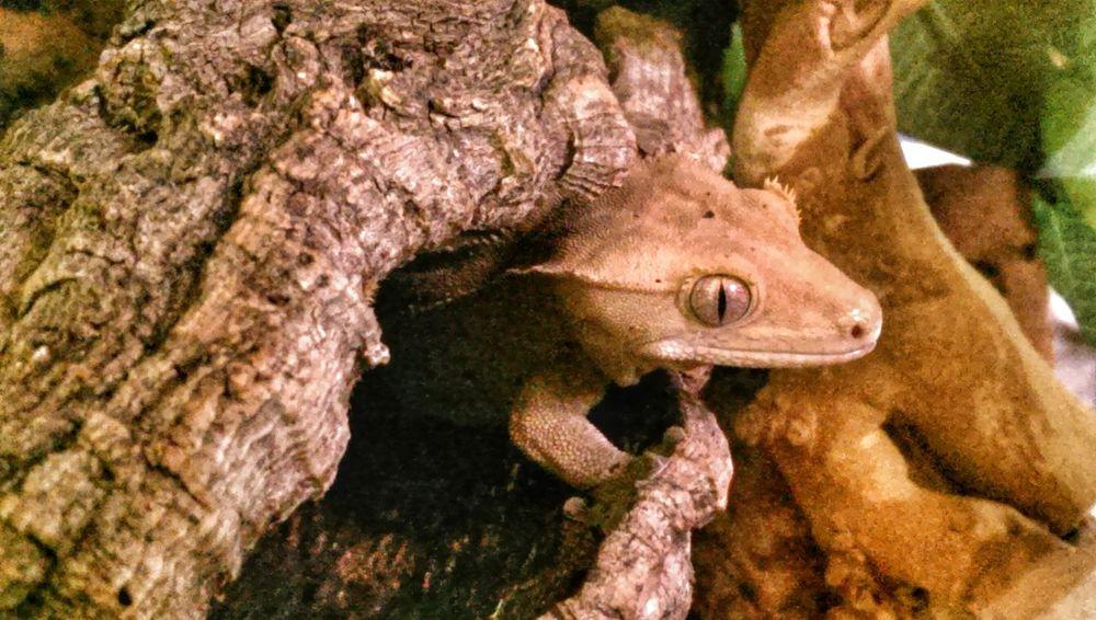 My Pet Lizard Crested Gecko