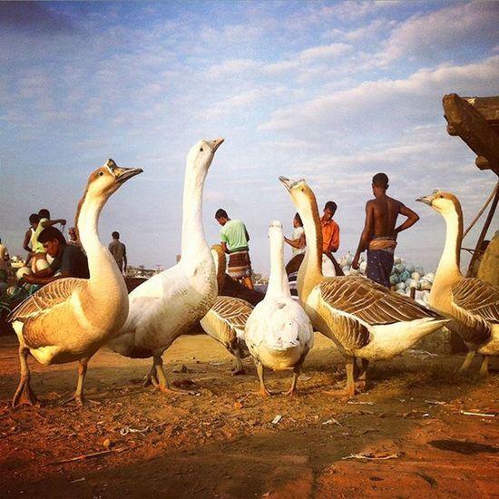 Fishermen preparing their nets while ducks roam around at Karnafuly river bank in Chittagong ! Js Jashimsalam Photos Photojournalist Photojournalism Documentary Ducks People Fishermen Karnafuly River Dailylife Domestic Instagram Natgeo Opensociety Chittagong Chottogram Bangladesh Everydaybangladesh
