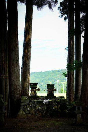 対になった祠。 Shinto Shrine Shrine Tree Plant Day Trunk Tree Trunk Nature No People Sky Growth Tranquility Sunlight Outdoors Built Structure Clear Sky Architecture Park Land Landscape