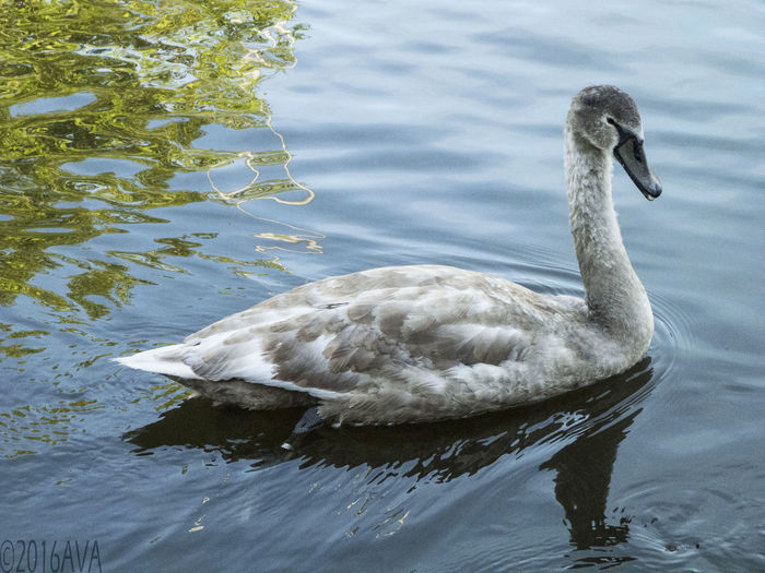 A fresh new life living on the Leeds to Liverpool canal in Skipton.Ripples, Canal Cygnet Feathers North Yorkshire Dales Outdoors Skipton Swans Swimming Water Bird