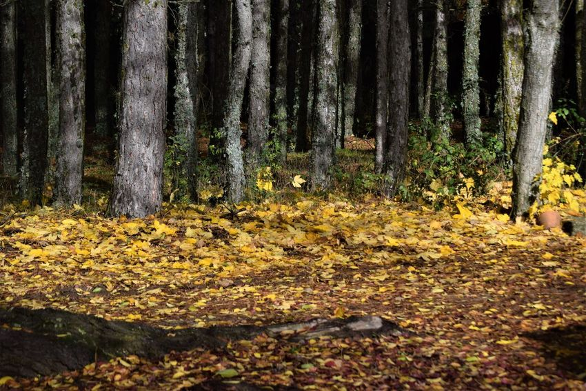 Forest Tree Land Tree Trunk Plant Autumn Nature Yellow No People Tranquility Beauty In Nature WoodLand Trunk