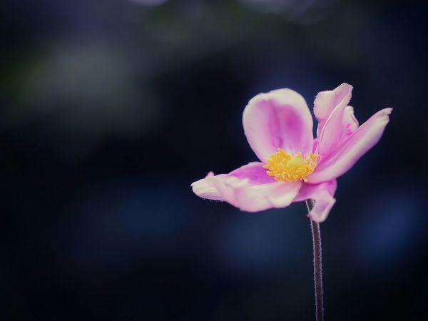 今日は雨。秋明菊って大好き!秋明菊 Flower Fragility Beauty In Nature Single Flower Pink Color Botany Olympus From My Point Of View My Favorite Place EyeEm Masterclass Darkness And Light Beauty In Nature EyeEm Nature Lover Dreamlike Light And Shadow Romantic Pink Flower Garden