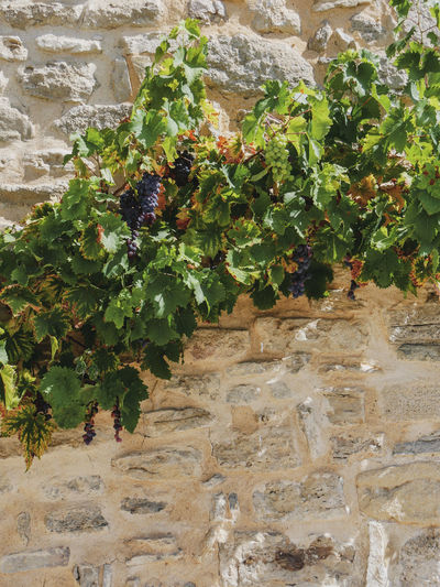 Faucon Provence Provence Alpes Cote D´Azur Architecture Beauty In Nature Built Structure Day Faucon  Flower Flowering Plant Grape Grapes Green Color Growth Leaf Nature No People Outdoors Plant Plant Part Solid Stone Wall Wall Wall - Building Feature Water Wine