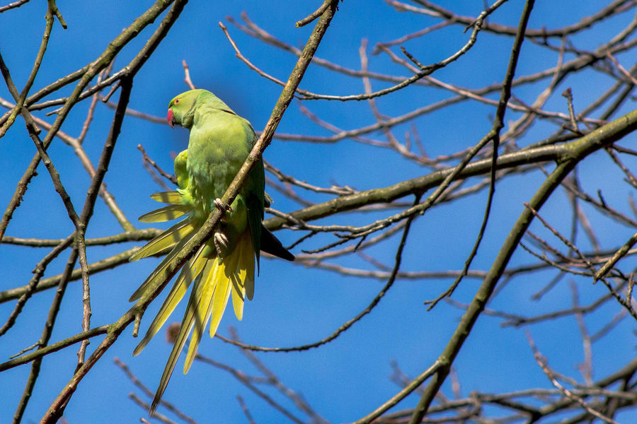 Parakeet glory Animal Themes Animals Animals In The Wild Animals In The Wild Beauty In Nature Bird Branch Emerald Home Low Angle View Nature Nature Photography On The Lookout One Animal Perching Spread Wings Wildlife Wildlife & Nature Parakeet Show Off