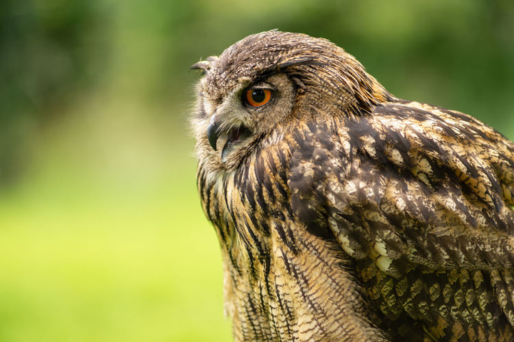 Portrait of a eurasian eagle-owl bubo bubo sitting outside in the sun against a green background