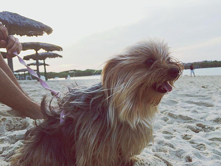 Glória on the Beach🐶🏊 Dogs Yorkshire Cute Pets Beach Dog Life Dog Love Beauty Nature Sand Dog Days