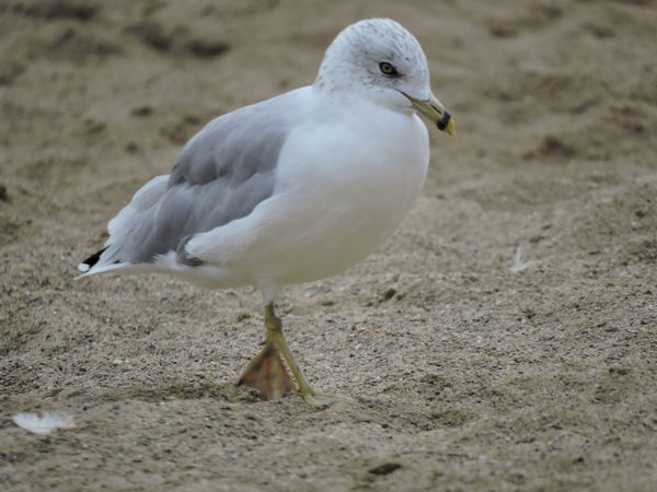 Ring-billed Seagull Animal Themes Animal Wildlife Animals In The Wild Beach Bird Close-up Day Nature No People One Animal Outdoors Perching Sand Seagull Seagulls At The Lake