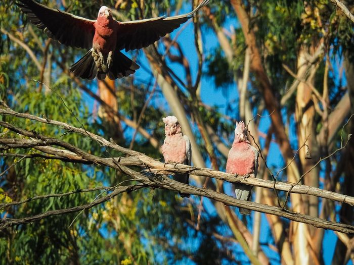 Galahs in a eucalyptus tree Australia Bird Perching Branch Tree Outdoors Animal Themes Adult Nature Day People galahs Galahs Galah Cockatoo Galah In A Tree Gum Tree Eucalyptus Tree Flight