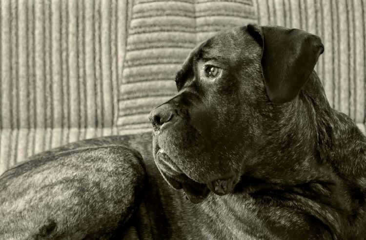 What? Dogs Cane Corso Mastiff Bestfriend The Look In His Eyes... Portrait