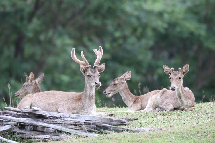 Spread of indonesian timor deer life