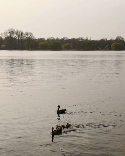 Geese Goose