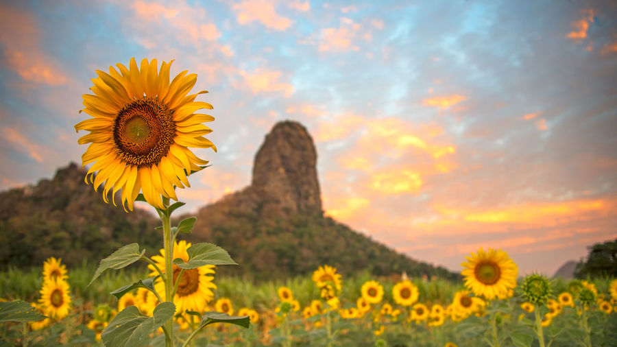 Close-up of yellow sunflowers on field against orange sky