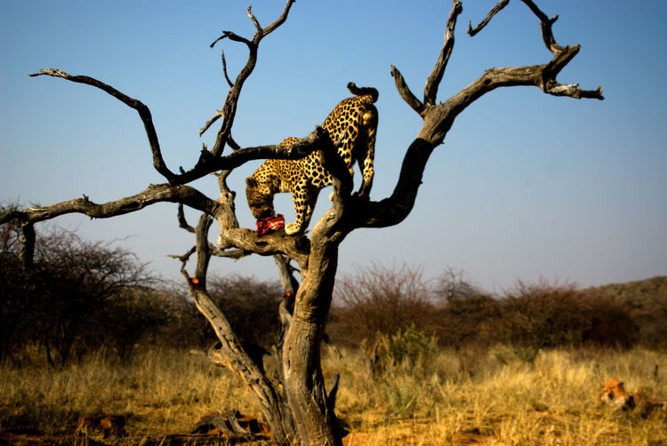 Cheetah eating prey on bare tree at forest