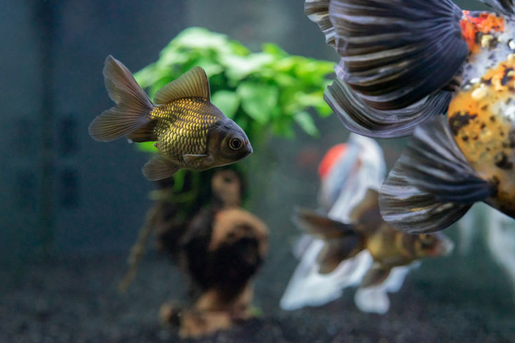 Oranda Golfish Animal Themes Animal Animal Wildlife Vertebrate Group Of Animals Nature Water Swimming Animals In Captivity Fish Goldfish Goldfish In Water Oranda Oranda Goldfish Calico Black Oranda Baby Goldfish Aquarium Aquarium Life Aquarium Photography Scale  Scales Fins Pet Pets Tail Swimming