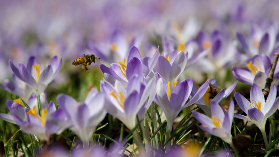 Close-up of bee on lavender