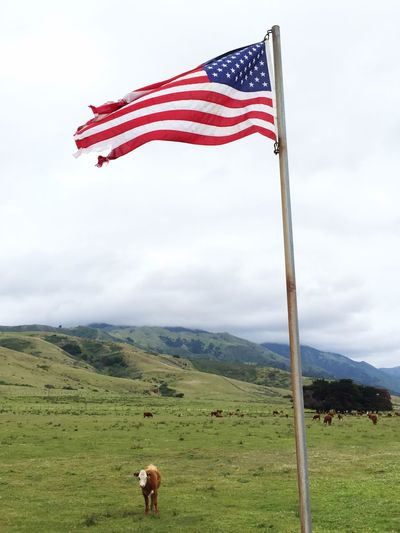 Cow standing under fluttering american flag