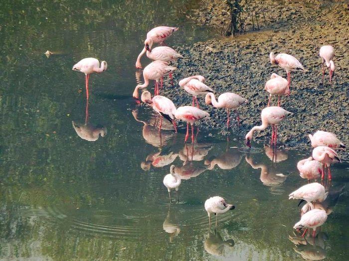 Flamingo Flamingo Bird Water Lake Pink Color Animal Themes