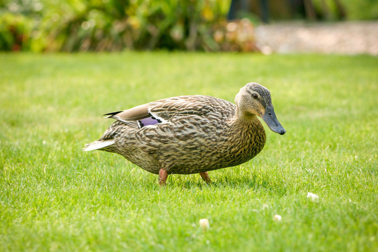 Close-up of goose on field