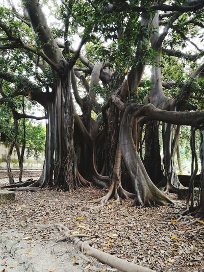 Ficus Tree Ficus Old Tree Tree Branch Tree Trunk Forest Root Growing Huge Blooming Growth