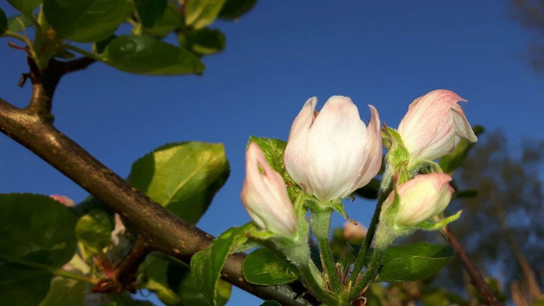 Appel Blossom Flower Head Flower Leaf Springtime Close-up Plant Sky