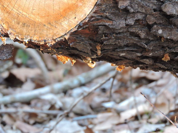 tree sap in the sun Beauty In Nature Close-up Day Nature No People Outdoors Textured  Tree Tree Trunk, Tree, Fallen Tree