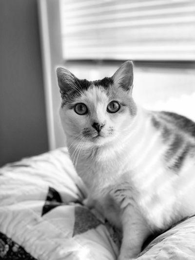 Caturday Pets Mammal Domestic Animals Domestic One Animal Cat Feline Domestic Cat Vertebrate Portrait Indoors  Looking At Camera Whisker Pet Owner