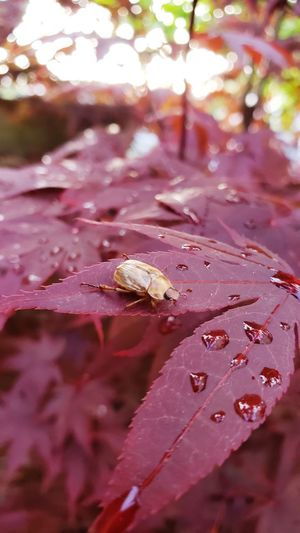 Beetle. Animal Closeup Closeupshot Beetle Insect Macro Macro Photography Macro_collection Pi Water Leaf Autumn Tree Change Drop Close-up RainDrop Maple Leaf Wet Rain Leaf Vein Maple Leaves Dew