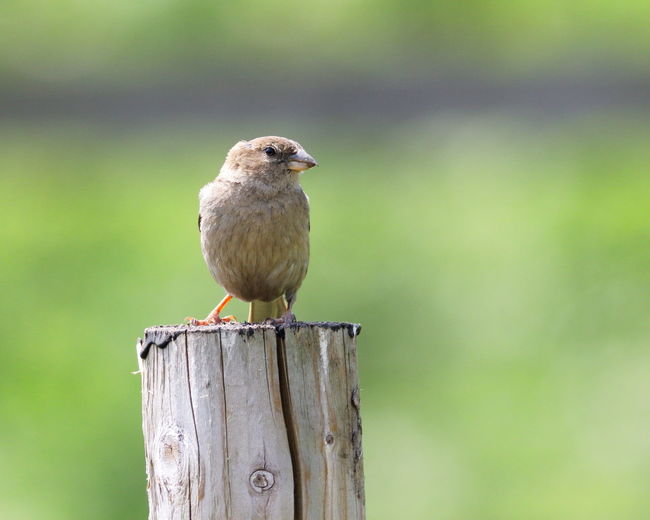 Animal Animal Themes Animal Wildlife Animals In The Wild Beauty In Nature Bird Birds Nature One Animal Perching Sparrow Vertebrate Wooden Post