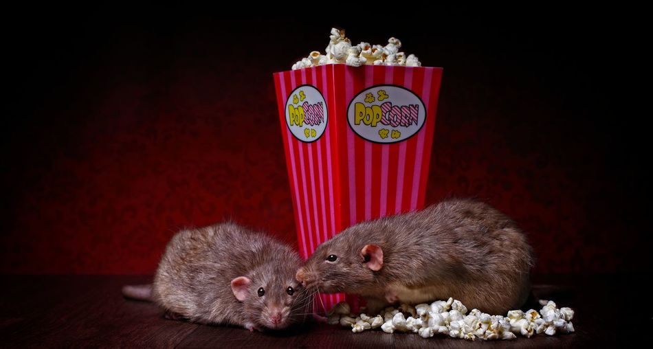 Close-up of rats by popcorns on table