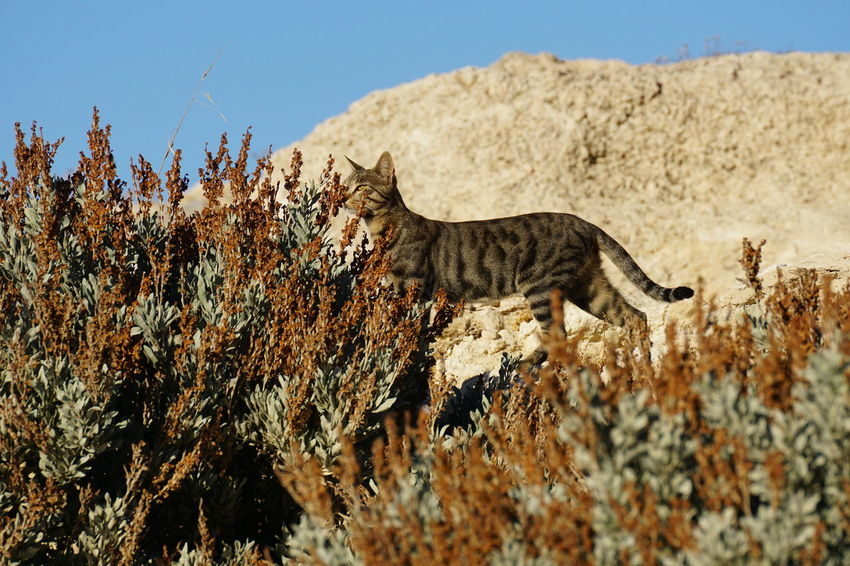 Stray tabby cat in Chersonissos, Crete Chersonissos Elegant Free Rock Shrubs Animal Themes Animal Wildlife Animals In The Wild Beauty In Nature Bush Cat Close-up Crete Day Greece Low Angle View Mammal Nature No People One Animal Outdoors Sky Stray Cat Tabby Cat Tree