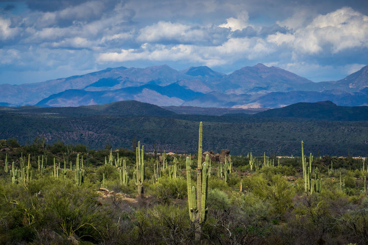 Scenic view of field of saguaro cactus against sky