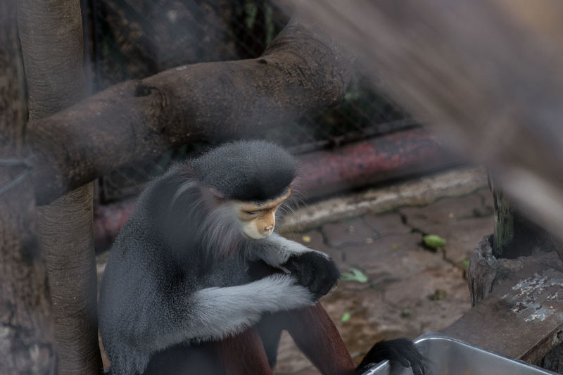 Red Shanked Douc Animal Themes Close-up Day Mammal Monkey No People Zoo Animals  Zoophotography