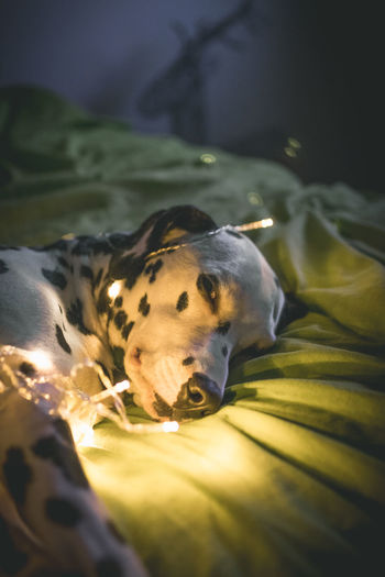 Dalmatian Wrapped In String Lights Resting On Bed At Home