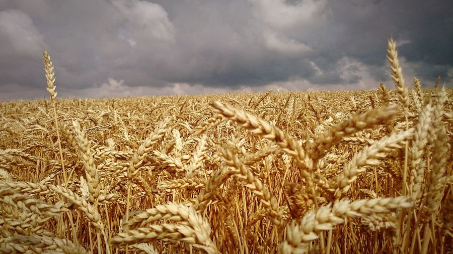 Weizen Weizenähre Weizenanbau Weizenfeld Weizen Ahre Rye - Grain Wheat Cereal Plant Rural Scene Ear Of Wheat Agriculture Gold Colored Field Summer Crop  Farmland Cultivated