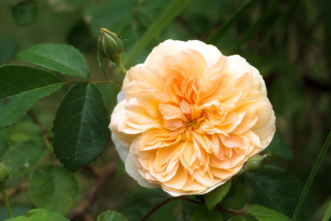 beautiful rose blossom in creamy apricot orange, the english rose port sunlight is a musk hybrid bred by David Austin, green background with copy space Apricot Copy Space Dark Green Hybrid Musk Beauty In Nature Blossom Bred Creamy David Austin Day English Rose Flower Flower Head Flowering Plant Growth Nature Orange Color Outdoors Pale Petal Plant Port Sunlight Rose🌹