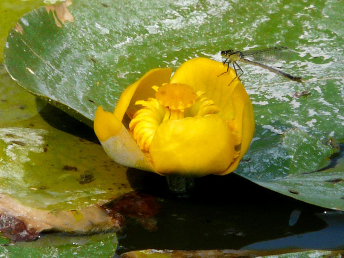 Close-up of yellow flower in water